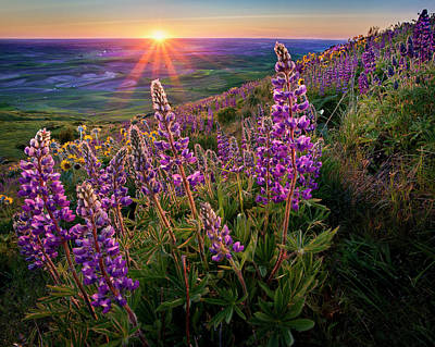 Park Scene Photograph - Steptoe Butte Lupine At Sunset by Richard Mitchell - Touching Light Photography