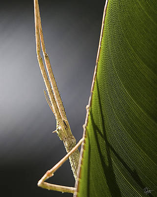 Photograph - Stick Bug Closeup by Endre Balogh