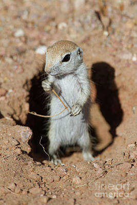 Round-tailed Ground Squirrel Photograph - Stick For A Squirrel  by Ruth Jolly