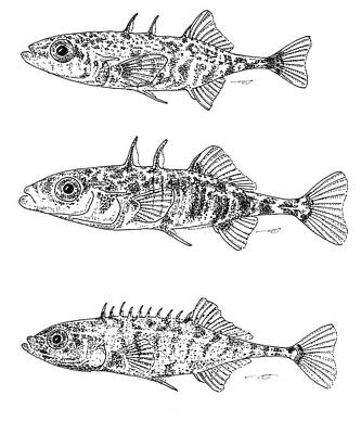 Drawing - Stickleback Trio Bw by Eduard Meinema