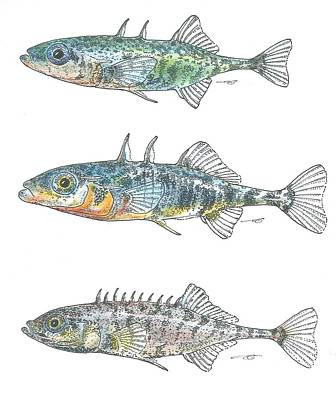 Drawing - Stickleback Trio Color by Eduard Meinema