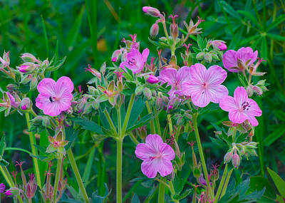 Photograph - Sticky Geranium Wildlfowers - Glacier National Park by Ram Vasudev