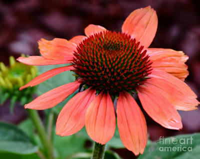 Photograph - Still Blooming by Kathy M Krause