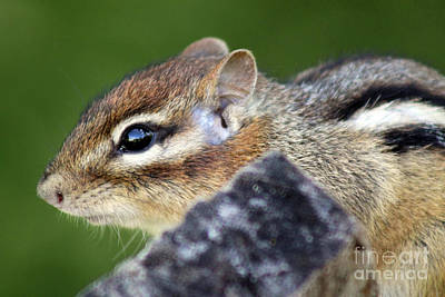 Photograph - Still  Chipmunk by Cathy Beharriell