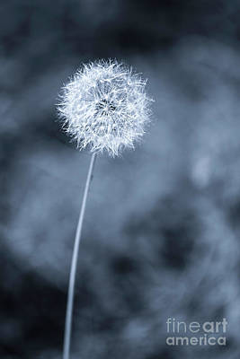 Photograph - Still Dandelion by David Millenheft