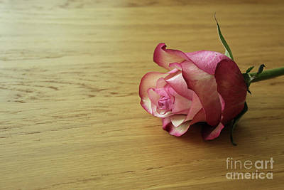 Still Life, Macro Photo Of Pink Rose Flower Art Print by Pixelshoot Photography