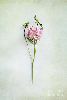 Photograph - Still Life Of A Peony With Texture Overlay by Stephanie Frey