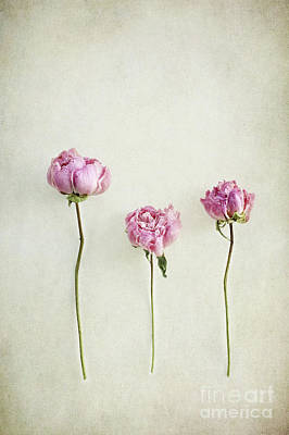 Photograph - Still Life Of Dried Peonies With Texture Overlay by Stephanie Frey