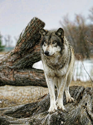 Photograph - Still Wolf by Shari Jardina