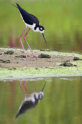 Photograph - Stilt Looking For Food by Dawn Currie