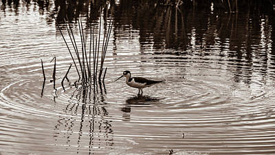 Photograph - Stilt Wading At Green Cay Wetlands Boynton Beach Florida by Lawrence S Richardson Jr