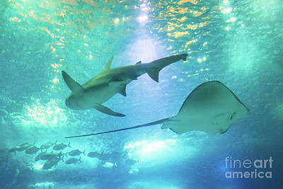 Photograph - Sting Ray And Shark by Benny Marty
