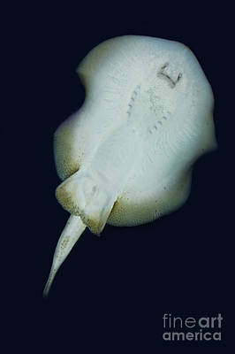 Ventral View Photograph - Stingray Urolophus Jamaicensis by Gerard Lacz