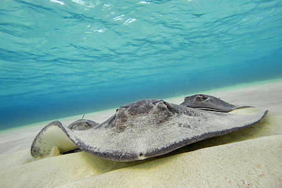 Photograph - Stingrays Under Water by Adam Romanowicz