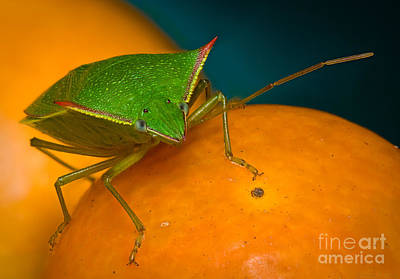 Photograph - Stink Bug On Kumquats by Warren Sarle