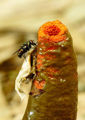 Photograph - Tip Of Stinkhorn Mushroom With Fly by Daniel Reed