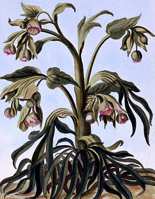 Wildflowers Drawing - Stinking Hellebore by Pierre-Joseph Buchoz