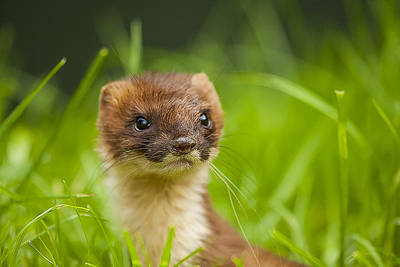 Stoat Portrait Art Print by Paul Neville
