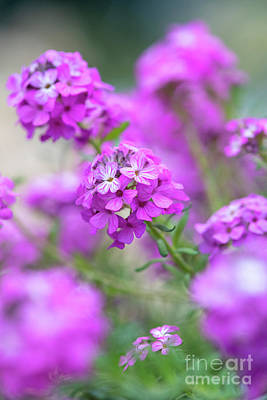 Photograph - Stone Cress 'warley Rose' Flowers by Tim Gainey