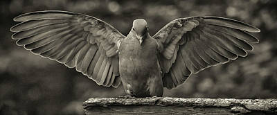 Stone Dove Landing Art Print by Jim Moore