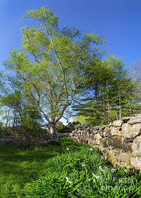 Photograph - Stone Fence And White Birch In Spring, Freeport, Maine  -12817 by John Bald