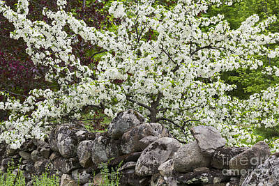 Photograph - Stone Wall Blossoms 2 by Alan L Graham