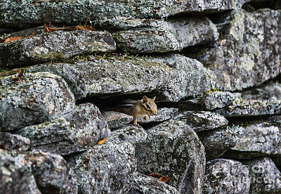 Fieldstone Photograph - Stone Wall Chipmunk by John Greim