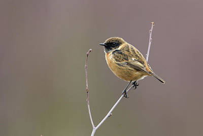 Photograph - Stonechat by Matt Malloy