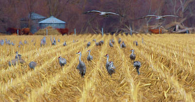 Photograph - Stopover - Sandhill Crane by Nikolyn McDonald