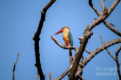 Photograph - Stork-billed Kingfisher by Venura Herath