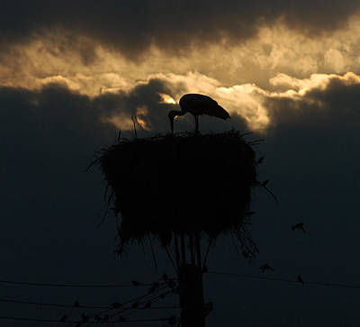 Stork With Evening Sun Light  Art Print