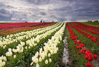 Festival Photograph - Storm Over Tulips by Mike  Dawson