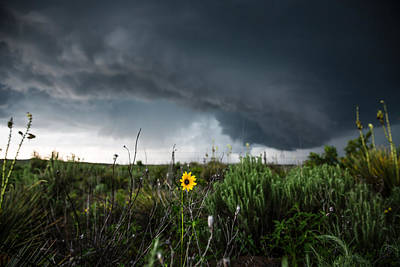 Sunflowers Royalty-Free and Rights-Managed Images - Stormflower - Sunflower Shines Against Storm in Texas Panhandle by Sean Ramsey