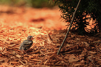 Photograph - Story Of The Baby Chipping Sparrow 1 Of 10 by Joni Eskridge