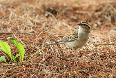 Photograph - Story Of The Baby Chipping Sparrow 2 Of 10 by Joni Eskridge