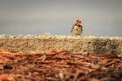 Photograph - Story Of The Baby Chipping Sparrow 5 Of 10 by Joni Eskridge