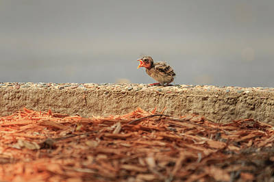 Photograph - Story Of The Baby Chipping Sparrow 6 Of 10 by Joni Eskridge