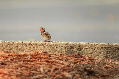 Photograph - Story Of The Baby Chipping Sparrow 7 Of 10 by Joni Eskridge