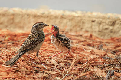 Photograph - Story Of The Baby Chipping Sparrow 8 Of 10 by Joni Eskridge