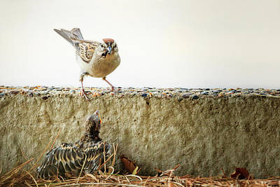 Photograph - Story Of The Baby Chipping Sparrow 9 Of 10 by Joni Eskridge