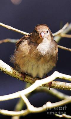 Sparrow Photograph - Straight On Sparrow by Jennifer Robin