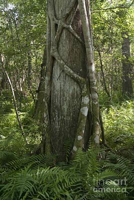 Ficus Aurea Photograph - Strangler Fig And Cypress Tree, Florida by Scott Camazine