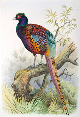 Pheasant Drawing - Strauchs Pheasant by Henry Jones