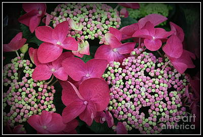 Photograph - Strawberries And Cream Hydrangea by Dora Sofia Caputo Photographic Art and Design