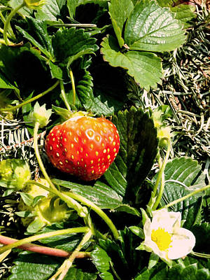 Yield Painting - Strawberry And Blossom On Strawberry Plant In Strawberry Patch by Lanjee Chee