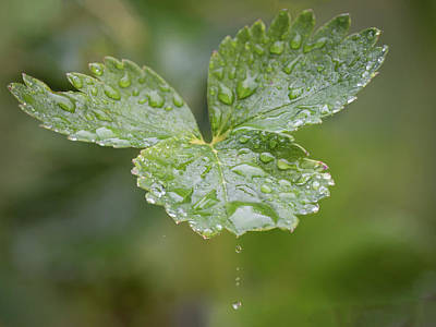 Photograph - Strawberry Leaves In The Rain by Keith Boone
