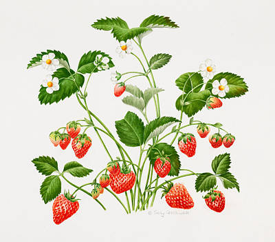 Strawberry Drawing - Strawberry Plant by Sally Crosthwaite