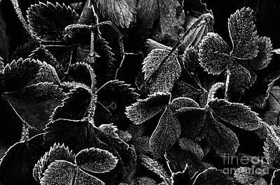 Photograph - Strawberry Plants by Jim Corwin
