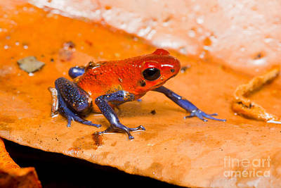 Strawberry Poison Dart Frog Art Print by B.G. Thomson
