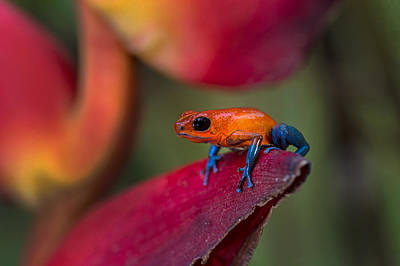 Dart Frogs Photograph - Strawberry Poison-dart Frog Oophaga by Panoramic Images